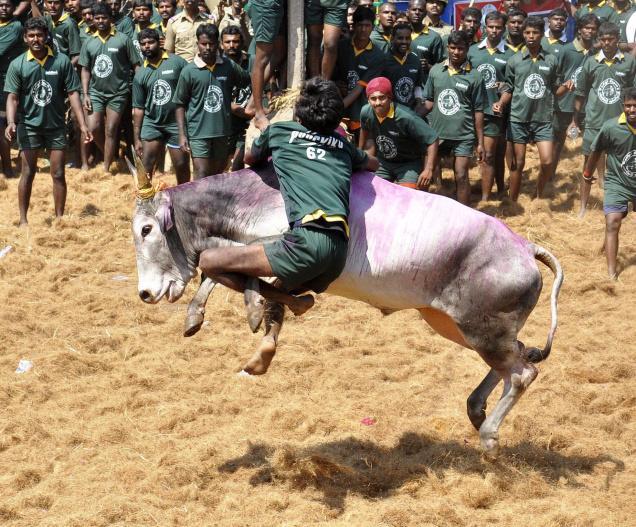 Tamil Nadu bull fighting