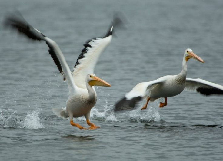 Prince Albert National Park – Pelicans
