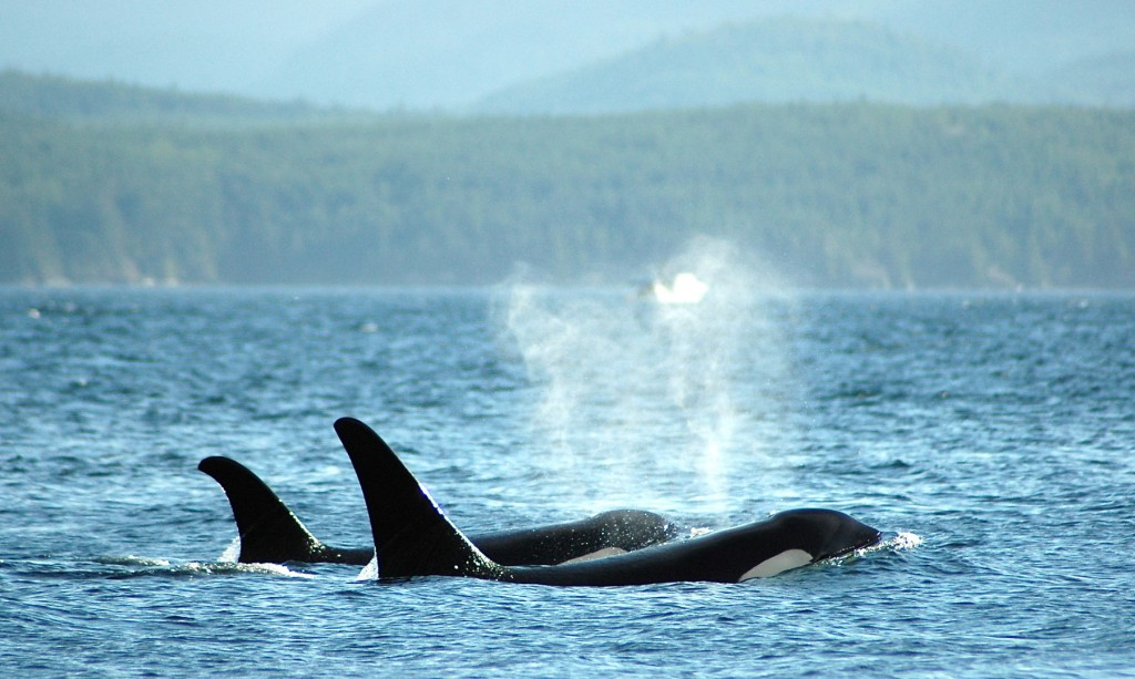 Vancouver Island – British Columbia – Orcas