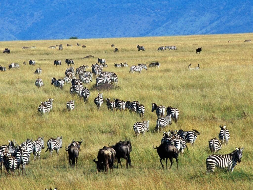 Wildebeest Watching