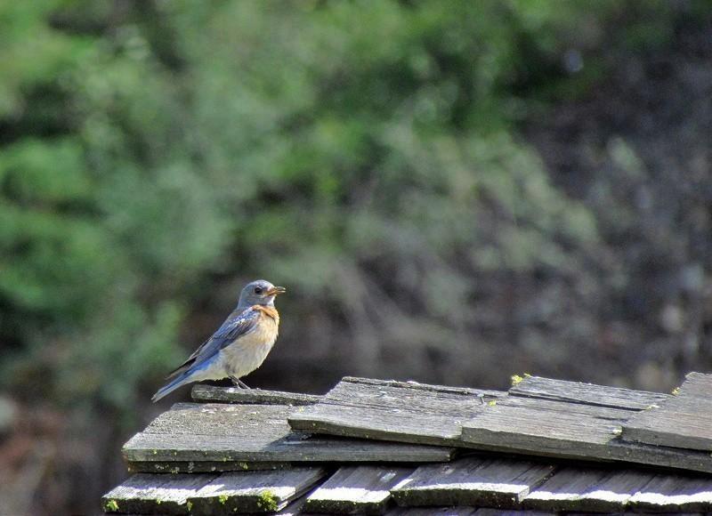 Birding At Okanagan Valley, Canada