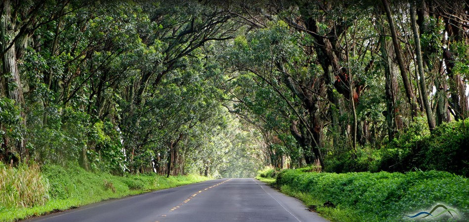 Driving Through The Tree Tunnel In Kauai