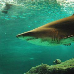 Australia Shark Diving Opportunities To Consider